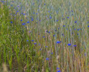 Beautiful cornflowers growing on field of rice. Beautiful blue summer flowers.