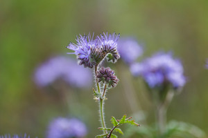 Beautiful blooming phacelia flowers. Close up of blue flowers