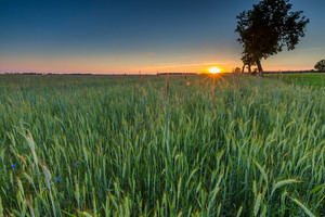 Beautiful landscape of green rye field at sunset. Agricultural countryside.