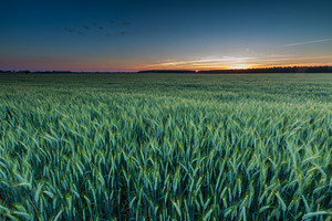 Beautiful landscape of green rye field at sunset. Agricultural countryside.--