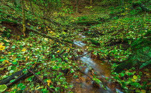 Beautiful wild autumnal forest with small stream or wild river and colorful fallen leaves. Polish forest in autumn. Dark forest