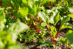 Young beetroots growing in ecologic garden. Beautiful springtime garden in morning sunlight.