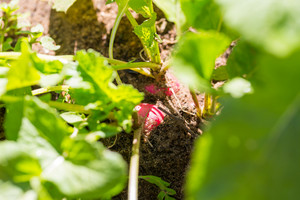 Radish growing in garden photographed in garden at early morning.
