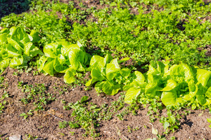 Young lettuce growing in garden. Beautiful green vegetable photo.