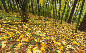 Beautiful wild autumnal forest with colorful fallen leaves. Polish forest in autumn. Dark forest