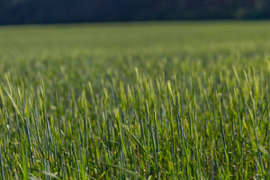 Beautiful young cereal field photographed in late spring. Agricultural background