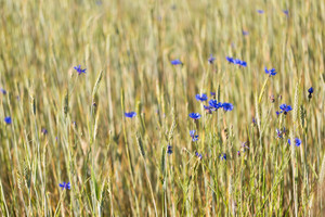 Cornflowers growing on summertime field. Beautiful rural field close up.