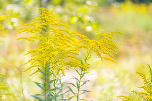 Beautiful yellow goldenrod flowers blooming. Beautiful flowers of autumn.