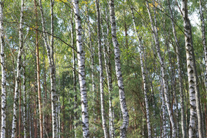 Beautiful birch forest close up. Forest in summer light.