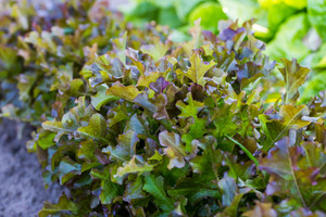Young brown lettuce growing in ecological garden. Beautiful photo of summertime young plants