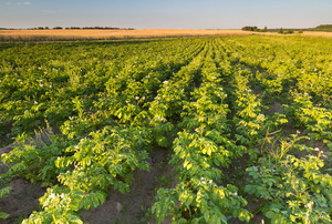 Beautiful summer landscape of potatoe field in sunset light. Polish countryside