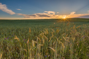 Beautiful landscape of sunset over corn field at summer. Beautiful grown corn ears in summertime field at sunset.