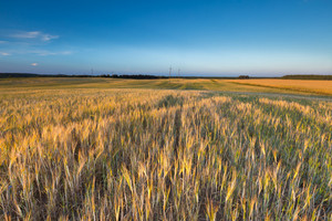 Landscape of corn field at summer. Beautiful polish countryside.