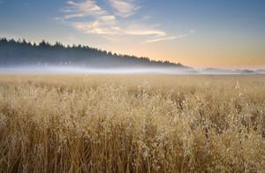 Oat field landscape at foggy sunrise