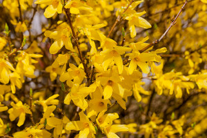 Beautiful yellow blossoming forsythia branches at springtime