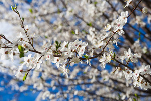 Beautiful blossoming cherry branches at springtime photographed at good weather