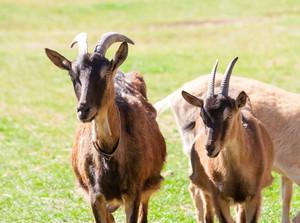 Goat living on farm portrait