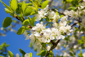 Beautiful apple tree branches blossoming at springtime