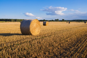 Straw bales lying on summertime field after harves