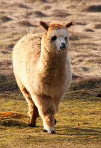 Face of alpaca (Vicugna pacos) from farm