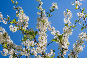 Beautiful blosssoming white cherry branches. Springtime tree with flowers