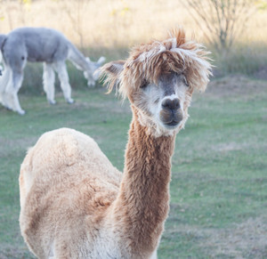Beautiful alpaca (Vicugna pacos) living on farm