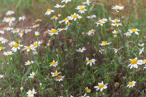 Beautiful chamomile flowers growing on wild meadow
