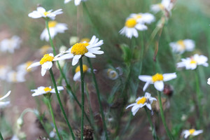 Beautiful chamomile flowers growing on wild meadow