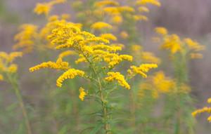Goldenrod flower or Solidago Canadensis