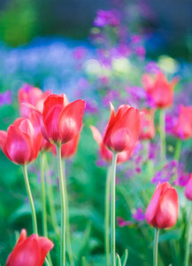 Beautiful spring tulips flowers growing in garden