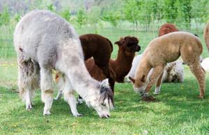 Herd of alpacas (Vicugna pacos) from alpaca farm