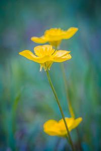 Beautiful springtime buttercups flowers growing on wild meadow.