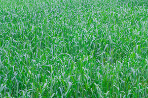 Close up of beautiful green young cereal field at early summer