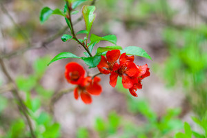 Beautiful red quince flowers blossoming in late spring
