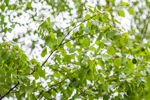 Young springtime green birch leaves on branch. Nature background
