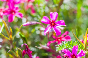 Beautiful pink springtime flowers on green background. Nature close up