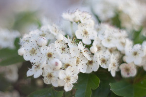 Beautiful blooming hawthorn tree in springtime. White flowers background