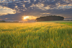 Beautiful landscape of sunset over cereal field