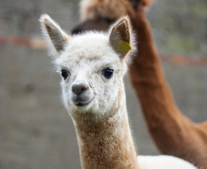 Beautiful alpaca (Vicugna pacos) living on farm