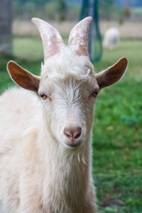 Goat living on farmland portrait