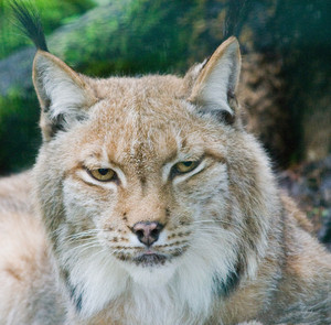 Lynx portrait. Animal face
