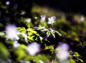 Beautiful white anemones blossoming at springtime in forests