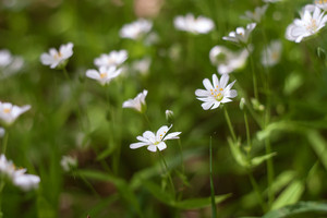 White flowers of Stellaria holostea (greater stitchwort or addersmeat)