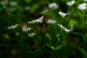 White flowers of Stellaria holostea (greater stitchwort or addersmeat)