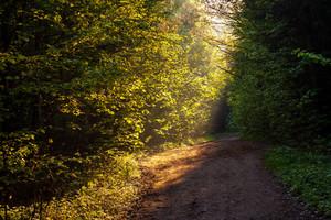 在晨光森林美麗的路徑