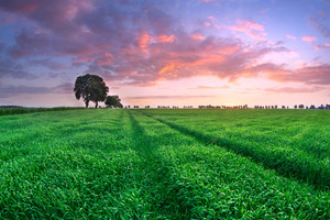 Sunset over young green cereal field in early summer