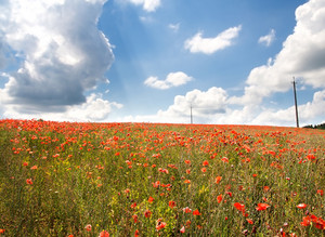 Beautiful landscape with poppies field under blue sky and clouds