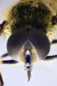 Micro Photo Of A Hoverfly