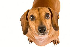 Miniature Dachshund Puppy Looking Up Longingly At The Camera