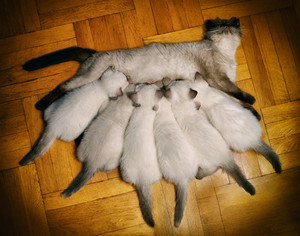 Mom cat feeding six little kittens on wooden floor